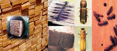 Bí quyết giúp bạn xử lý được tình trạng gỗ bị mốt mọt